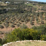 OLIVE ORCHARDS, MILKWOOD